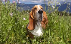 1920x1200 free desktop backgrounds for basset hound