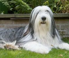 Bearded Collie  bearded collieAt No.9 in our list of the worlds most expensive dogs is bearded Collie which can be sold for between $1,000 and $5,000 Best Dog Breeds, Best Dogs, Red Tibetan Mastiff, World's Most Expensive Dog, Wolf Husky, Bearded Collie, Kinds Of Dogs, Dog Wallpaper, Beautiful Dogs