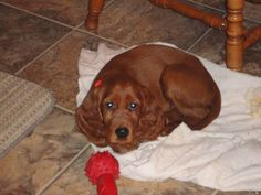 Lady Shelleen my Irish Setter