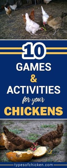 Chicken Coop - Boost the mood of your chickens with these 10 simple Games and Activities For Your Chickens! They love chicken games. Building a chicken coop does not have to be tricky nor does it have to set you back a ton of scratch. Types Of Chickens, Raising Backyard Chickens, Keeping Chickens, Pet Chickens, Urban Chickens, Diy Toys For Chickens, Backyard Coop, Backyard Farming, Backyard Birds