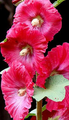 Hollyhocks in Santa Fe: I've never lived anywhere where Hollyhocks were so gorgeous and easy to grow. Flowers Nature, Red Flowers, Beautiful Flowers, Hollyhocks Flowers, Garden Bird Feeders, Let's Make Art, Macro Flower, Desert Plants, Landscaping Plants
