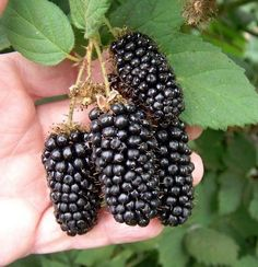 Guide to Growing Blackberries