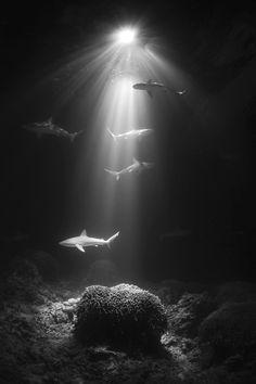 sharks - (Cookie.Peste)
