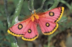 Mariposa Saturniidae. Saturniidae é uma família de insetos pertencente a ordem Lepidoptera, que inclui borboletas e mariposas. Quando em estado larval são comumente conhecidas como taturanas.