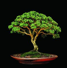 Learn about the living art of Bonsai! We explain how to care, cultivate and maintain your Bonsai tree with easy to understand and step-by-step guides. Boxwood Bonsai, Bonsai Plants, Bonsai Garden, Garden Terrarium, Ikebana, Mini Plantas, Bonsai Tree Care, Bonsai Styles, Buxus