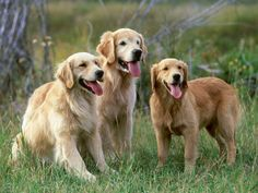 Golden Retrievers - no other dog smiles like a Golden