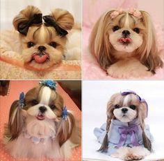 Shih Tzu Poodle, Shih Tzu Puppy, Cute Little Dogs, Cute Baby Dogs, Shitzu Puppies, Cute Puppies, Shih Tzu Hair Styles, Puppy Clothes Girl, Perro Shih Tzu