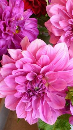 Bright Pink Dahlias - love the color Amazing Flowers, Fresh Flowers, Colorful Flowers, Pink Flowers, Beautiful Flowers, Dahlia Flower, Lotus Flower, Arte Floral, Types Of Flowers
