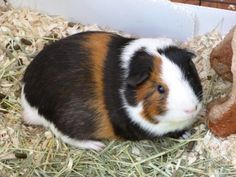 Cutie, my guinea pig