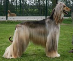 tall long haired dog
