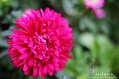 fushia tufted flower head  :)