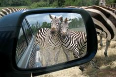Two zebras want to be photographed together.