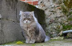 Siberian    Forest Cat Breed Photos and Facts