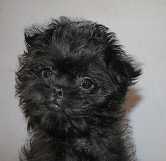 Moka10wks by Orlock Affenpinschers, via Flickr