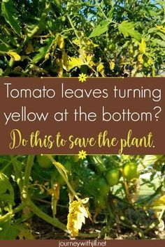 If your vibrant tomato plants start to show yellow leaves on the bottom, particularly with brown spots, most likely you have a common issue. Thankfully, with early intervention, you can save the plant and still harvest many tomatoes in your garden! Tips For Growing Tomatoes, Growing Tomatoes In Containers, Growing Vegetables, Grow Tomatoes, Garden Tomatoes, Baby Tomatoes, Cherry Tomatoes, Yellow Tomatoes, Gardening Vegetables