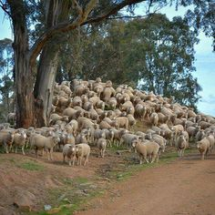 Peak hour on the farm,in Cootamundra , New South Wales. Australian Sheep, Australian Animals, Country Life, Country Roads, The Thorn Birds, The Good Shepherd, Country Scenes, Life Pictures, Working Dogs