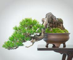 JP: Japanese Red Pine (Pinus densiflora) Shohin
