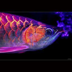 Super Red Asian Arowana Fish.