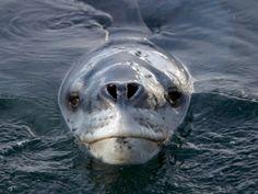 You hurt leopard seal's feelings. Photo by Paul Nicklen