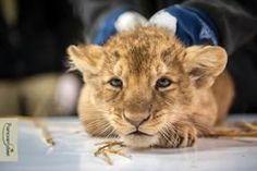 WWF Rangerclub - News - Leeuwenwelpjes in Planckendael!