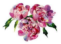 Three pink peonies watercolor Stock Photo