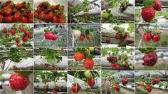 genting highland - Yahoo Malaysia Image Search results Genting Highlands, Image Search, Vegetables, Vegetable Recipes, Veggies