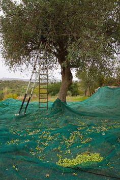 Raccolta delle olive in Sicilia  -  Harvesting Olives in Sicily, copyright Jann Huizenga