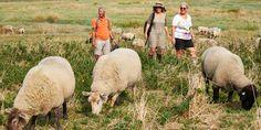 De schapen grazen onverstoord voort.