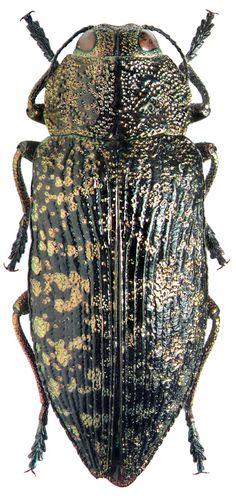 Buprestidae: Poecilonota variolosa