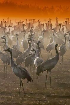 Cranes Agamon, Sea of Galilee, Israel