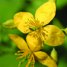 Celandine tea stimulates and regulates the secretion of bile, stimulates gallbladder tonus (improves bile flux) is an important hepatoprotective, helps in normalization of bilirubin and cholesterol Medical Examination, Cholesterol Lowering Foods, Language Of Flowers, Tea Benefits, Medical Advice, Natural Healing, Home Remedies, Health, Nature
