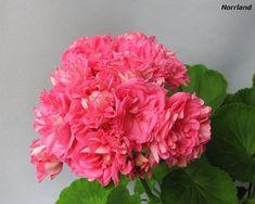 Pink pelargonium Norrland