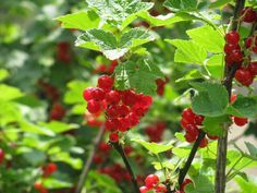Bogyós gyümölcsök gondozása Gardening, Lawn And Garden, Urban Homesteading, Horticulture