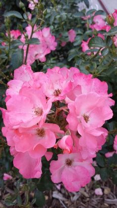 Breast Cancer Awareness rose