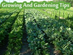 Growing And Gardening Tips - Living Green And Frugally