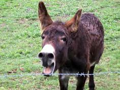 Braying Donkey - According to a NYT article, donkeys are not stubborn but thoughtfully intelligent, were buried with kings in Egypt, and they, not camels, opened up the Sahara. They also protect sheep, goats, and other animals. You can google guard donkeys online.