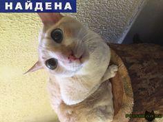 """Найдена кошка домашняя г.Красногорск http://poiskzoo.ru/board/read31791.html  POISKZOO.RU/31791 .. найдена кошка в г Красногорск, ж/к """"Лесная сказка"""". Самка, не молоденькая, возможно кастрированная, светло бежевый окрас, ..кг, ухоженная, голубые глаза, идёт ко всем на руки. Очень напуганна.   РЕПОСТ! @POISKZOO2 #POISKZOO.RU #Найдена #кошка #Найдена_кошка #НайденаКошка #Красногорск"""