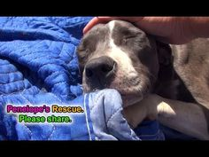 Penelope: a sick, injured Pit Bull gets rescued and is now looking for a...