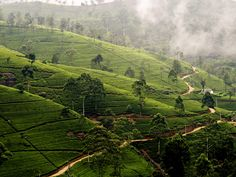with the quaint feel of the English countryside; it is almost impossible to believe that you are in Sri Lanka.  Here you see a spectacular tea estate in the village of Nuwara Eliya..