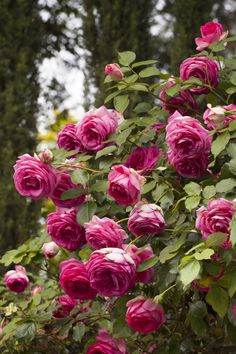'Pretty in Pink Eden' ~ climbing rose with double, deep pink flowers and vintage rose perfume