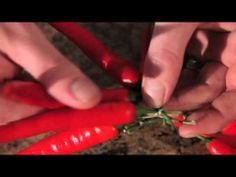 Mario Batali Presents: How to Make Hanging Peppers.