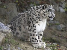 Snow leopard. Had the pleasure of meeting one up close. What a magnificent creature. I spent over an hour walking him and laying with him alone when I was 12. It was one of the most amazing experiences of my life. Such a powerful animal and yet in the right care so peaceful and loving.