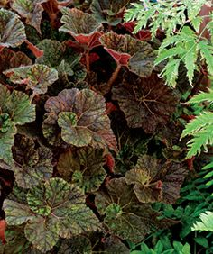 Unlike many other shade garden plants with their cool blue colors, 'Cowardly Lion' rex begonia offers rich warm tones. Perennial Flowering Plants, Shade Garden Plants, Foliage Plants, Pot Plants, Flowers Perennials, Plant Bugs, Cowardly Lion, Fine Gardening, Desert Plants