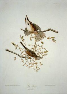 Song Sparrow, Audubon Birds, Different Birds, Birds Of America, John James Audubon, Bird Pictures, Animals Of The World, Bird Art, American Artists