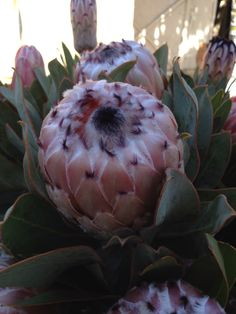 California Queen Proteas of California. #ProteasofCalifornia #protea #cagrown