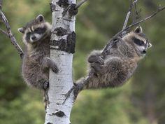 Raccoon Babies-Photography
