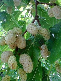 Beautiful Day white mulberry. Fruit is edible, but this tree is going to be allowed to get tall to shade the chicken coop.