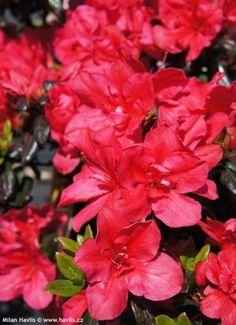 Azalea japonica Marushka