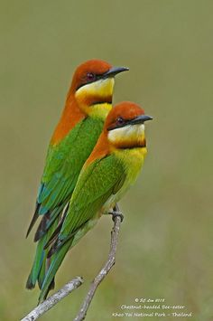 Chestnut-headed Bee-eater @ Khao Yai NP (Thai) _20130315_0012 by SC Lim2010, via Flickr