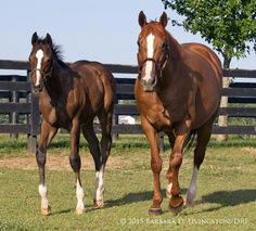 IRISH PHARAOH, brother of Triple Crown winner AMERICAN PHAROAH, w/ LITTLEPRINCESSEMMA at Summer Wind Farm last week.